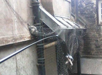 Photo d'un pigeon vivant et d'un pigeon mort sous un filet à Strasbourg septembre 2015
