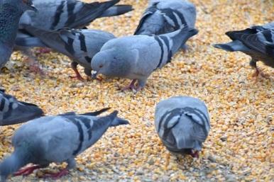 Photo de pigeons mangeant des graines contraceptives Ornistéril. © Le Mouvement pour les Animaux